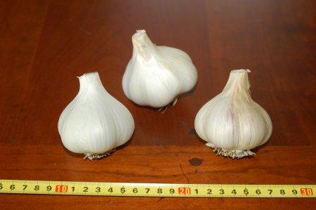 Susan Delafield Garlic